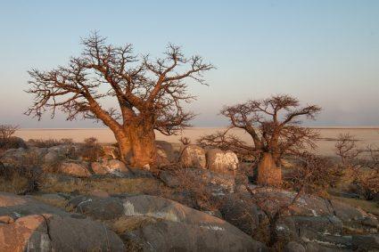 A la découverte du baobab de Madagascar